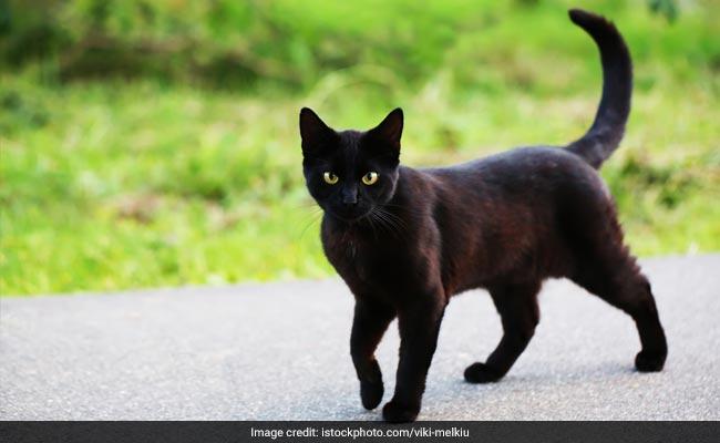 जानें बिल्लियों से जुड़े अंधविश्वासों का सच, क्यों रास्ता काटने पर रुक जाते हैं लोग...