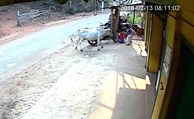 वीडियो में देखें कैसे 8 साल की छोटी बच्ची ने गुस्सैल गाय से अपने भाई को बचाया