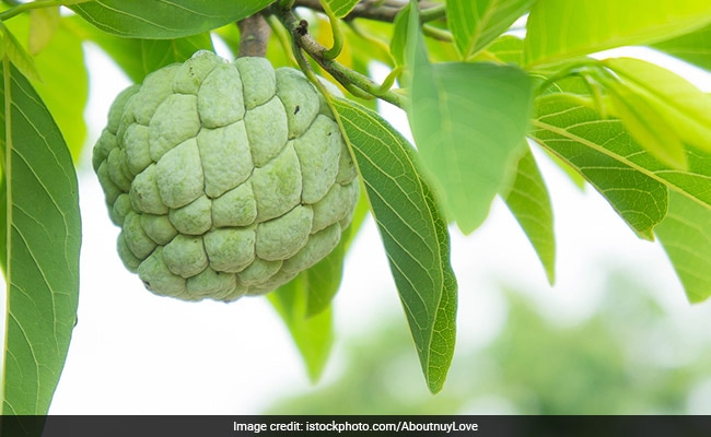 Know All About The Magical Properties Of Ramphal A Fruit