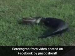 Watch: Cops Pull Out Struggling Alligator From Under Truck In Scary Video