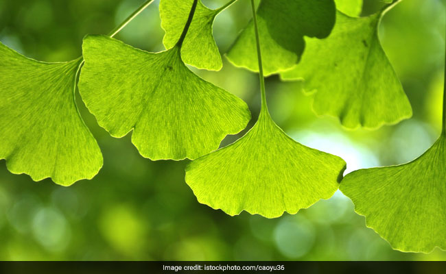 7 Health Benefits Of Ginkgo Biloba: A Remedy For Many Ailments