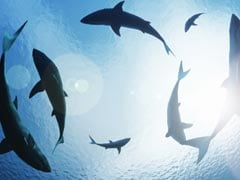 Researchers Find At Least 8,000 Great White Sharks Off Australia Coast