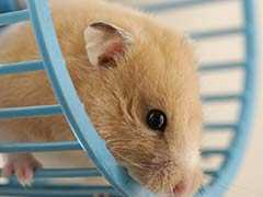 Woman Says She Flushed 'Emotional Support' Hamster In Desperation After Bad Advice From Spirit Airlines