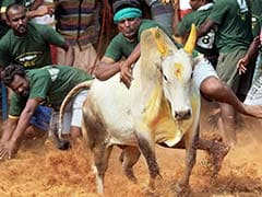 Jallikattu Bull Owned By Tamil Nadu Minister Dies After Hitting A Wall