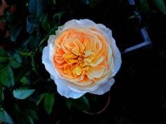 Rose Day 2018: इस गुलाब की कीमत है करोड़ों में, जानिए कुछ ऐसे ही फैक्ट्स