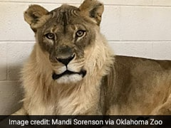 Lioness Grows Beard, Zookeepers Puzzled By 'Exceptionally Rare' Mane