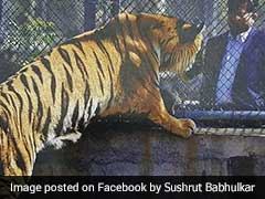 Maharashtra Tiger Who Lost Paw In Poacher's Trap To Get Prosthetic Limb Today