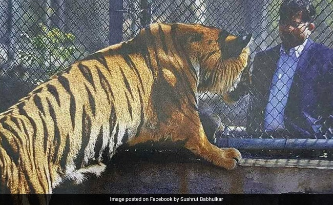 With Surgeon's Help, Maharashtra Tiger With Amputated Paw To Get Prosthetic Limb