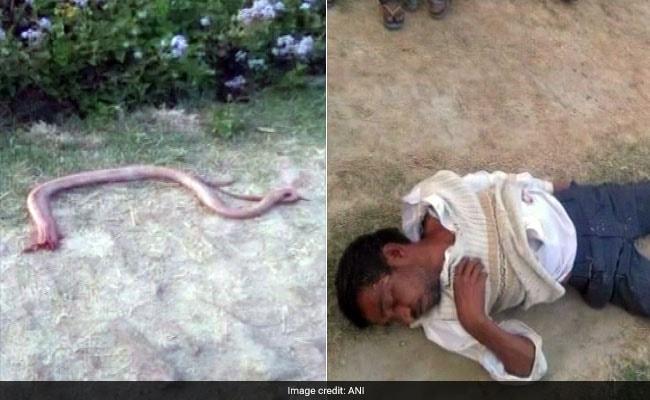Uttar Pradesh: किसान ने कुछ ऐसे लिया सांप से 'बदला', काटा तो चबा गया उसका सिर