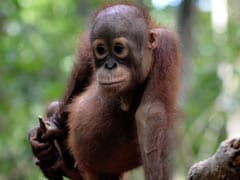 Orangutan Shot 130 Times With Air Rifle, A 13-Year-Old Is Among Accused