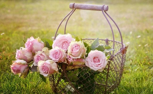 pink roses rose day