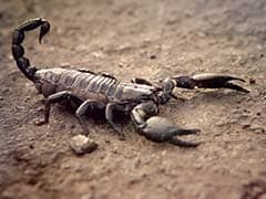 Scorpion Venom Can Improve Treatment For Rheumatoid Arthritis