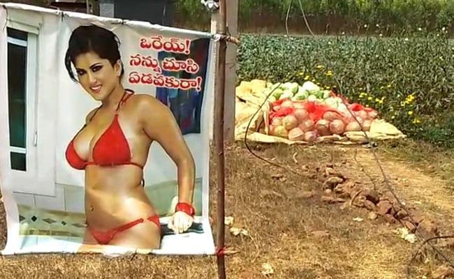 At This Andhra Pradesh Farm, Sunny Leone Posters Are Saving Crops