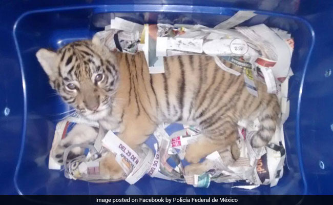 Tiger Cub Found In Box Sent Via Courier. It Was Saved By A Sniffer Dog