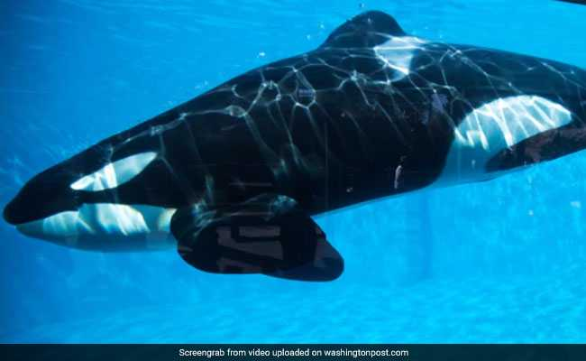 14-Year-Old Killer Whale In France Has Successfully Imitated Human Speech