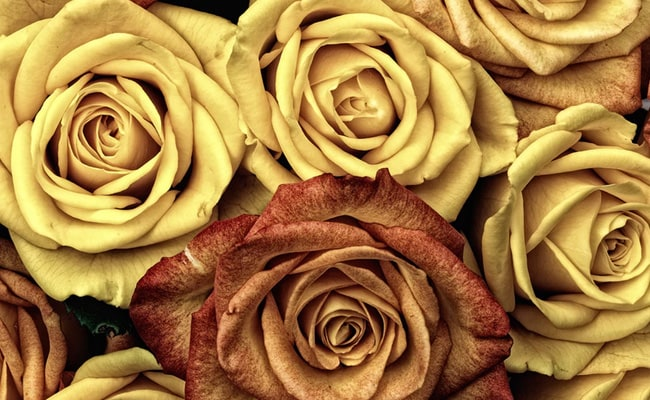 yellow roses rose day