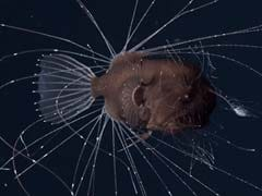The Worst Sex In The World Is Anglerfish Sex, And Now There's Video