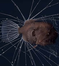 The Worst Sex In The World Is Anglerfish Sex, And Now There's Finally Video