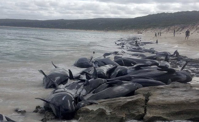 Over 150 whales found beached in Australian bay, few survive