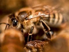 Over 125 Students Attacked By Bees Near Rajgad Fort In Pune