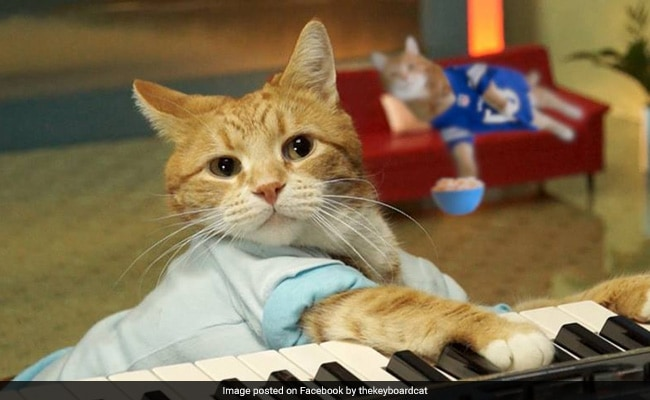 Bento, A Feline Known For Appearing In 'Keyboard Cat' Videos, Has Died