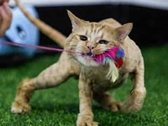 Feline Pampered: Basra Moggies Set Paw In Iraq's First Cat Hotel