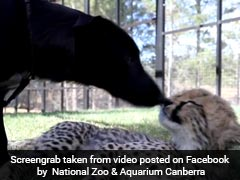 Watch: This 4-Month-Old Cheetah Cub Has A Puppy Playmate