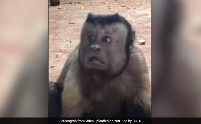 VIDEO: 'इंसान के चेहरे' वाला बंदर, जिसने भी देखा ये वीडियो हो गया हैरान