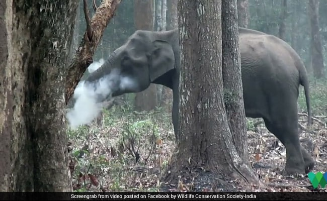 Watch: Karnataka Elephant Filmed 'Smoking'. What It Was Actually Doing