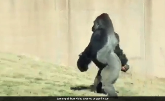 Gorilla Filmed Walking Like A Human. Zoo Officials Explain Why He Does It
