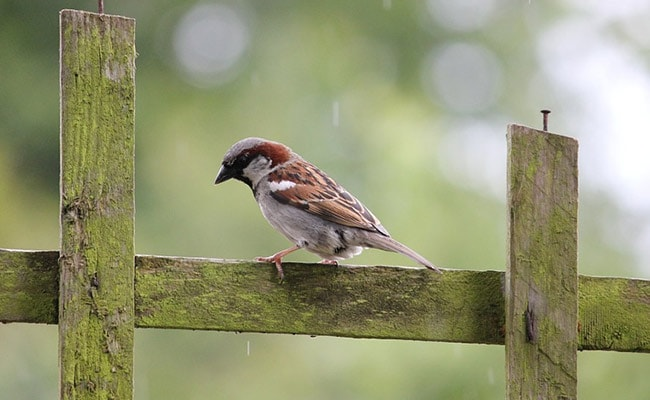 World Sparrow Day: Declining Population Of House Sparrows Spark Concern