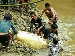 Human Leg, Arm Found Inside 20-Foot Crocodile In Indonesia