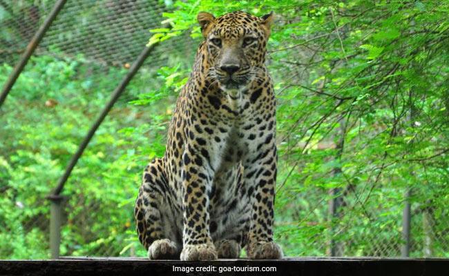 राजाजी राष्ट्रीय उद्यान के पास तेंदुआ लड़की को घर से खींचकर ले गया