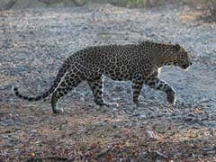 Girl, 11, Lay On 4-Year-Old Brother To Save Him As Leopard Attacked Them