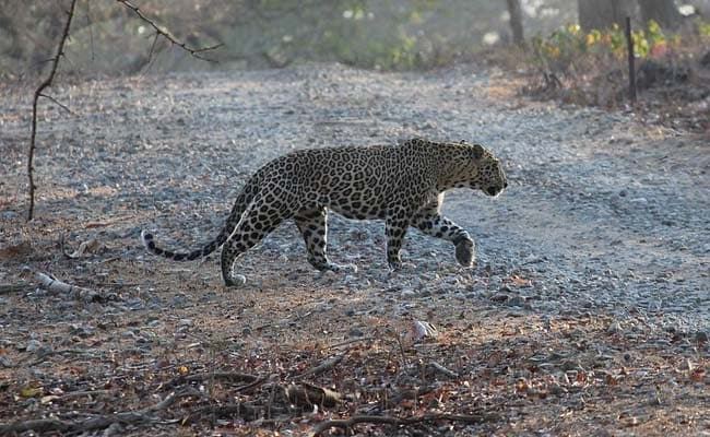 7-Year-Old Killed By Leopard In Uttarakhand, Angry Villagers Burn Forest Land