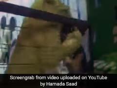 VIDEO: इवेंट में अचानक शेर ने कर दिया बच्ची पर हमला, फिर दिखा दिल दहला देने वाला नजारा
