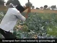 Angry Farmer In Maharashtra Destroys Cauliflower Crop, Video Goes Viral: Watch