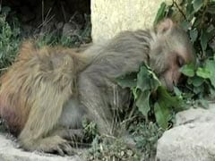 'Chowmein Chutney' Kills Over 100 Monkeys In UP Village