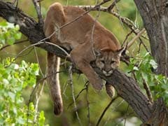 Watch: Wildlife Officials Forced To Climb Tree To Capture Mountain Lion