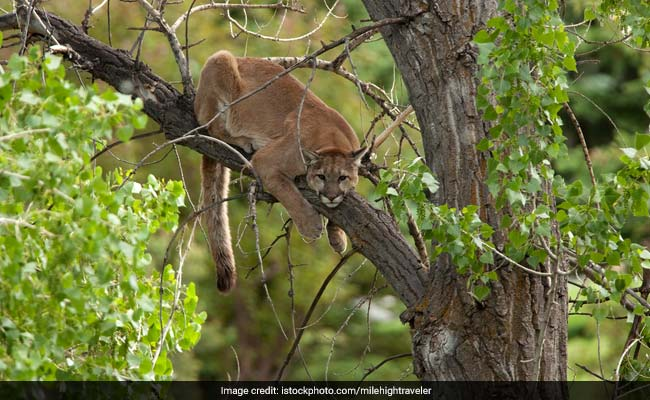 Mountain Lion Roamed Into