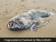'Monster' Fish Weighing 150 Kgs Washes Up On Australian Beach