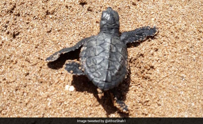 Olive Ridley Turtles Are Back At Mumbai's Versova Beach After 20 Years