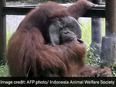 Orangutan Caught Smoking Cigarette On Camera. Video Is Viral