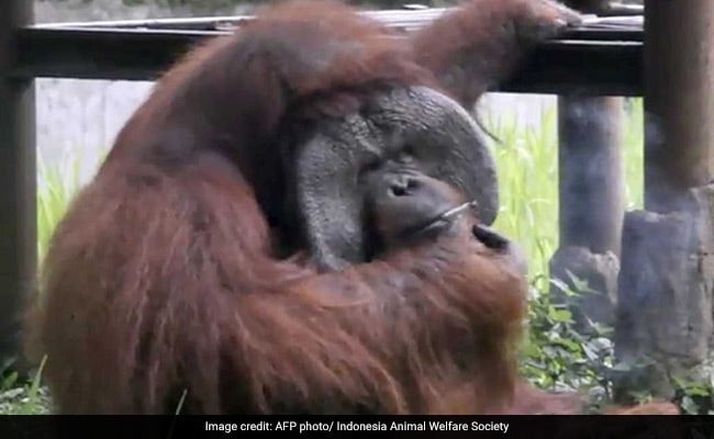Orangutan Caught Smoking Cigarette On Camera. Video Is Viral
