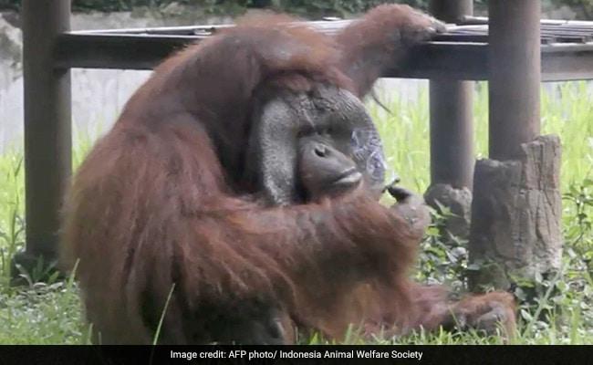 orangutan smokes cigarette indonesia 650 2