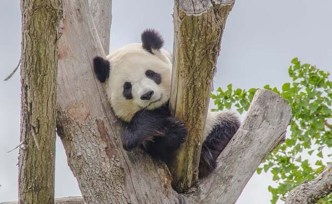 China Plans Panda Park That Will Dwarf Yellowstone