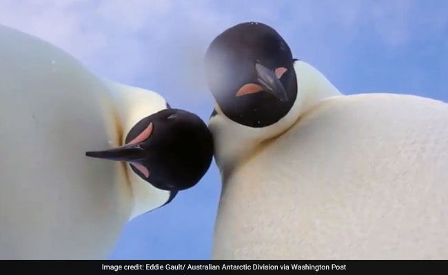 Curious Emperor penguins 'take a selfie' in Antarctica