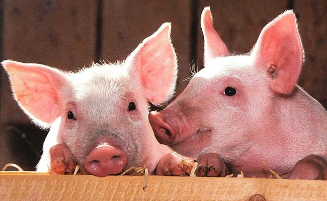 Scientists Develop Pigs For Human Transplants In Japan