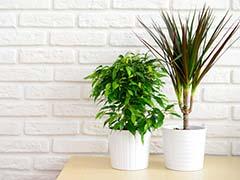 Plants For Positive Energy: घर में सकारात्मक ऊर्जा के लिए ज़रूर लगाएं ये पौधे