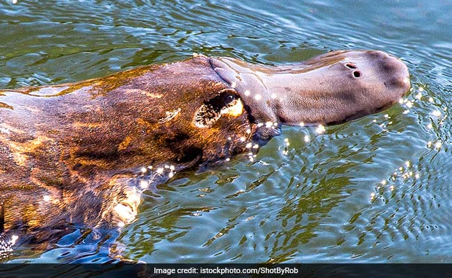 Platypus Milk May Help Combat Superbugs
